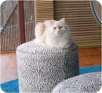 Himalayan Cat for adoption in Gaithersburg, Maryland - Homer