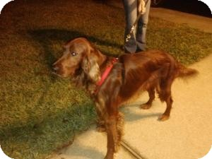 Irish Setter Dog for adoption in Mary Esther, Florida - Clifford