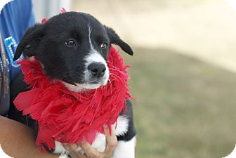 Labrador Retriever Mix Puppy for adoption in Corpus Christi, Texas - Winona