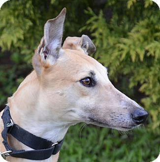 Greyhound Dog for adoption in Portland, Oregon - Delana