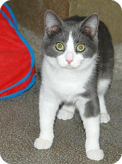 Domestic Shorthair Cat for adoption in Centre Hall, Pennsylvania - Wyatt