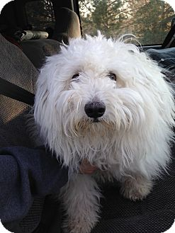 Poodle (Miniature)/Eskimo Dog Mix Puppy for adoption in Ogden, Utah - Gizmo