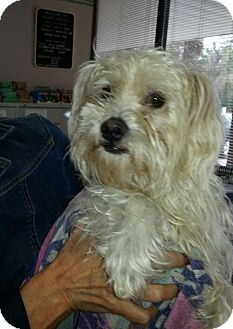 Maltese/Poodle (Miniature) Mix Dog for adoption in Kingwood, Texas - Oliver