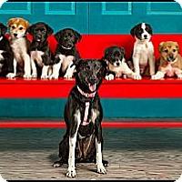Adopt A Pet :: Puppies - Owensboro, KY