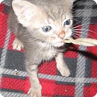 Adopt A Pet :: Harper - Chandler, AZ