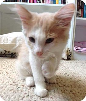 Domestic Shorthair Kitten for adoption in Hillside, Illinois - Weasel