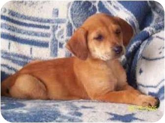 Redbone Coonhound Mix Puppy for adoption in Carrollton, Texas - Emily
