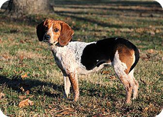Beagle Mix Dog for adoption in Salem, New Hampshire - BRIANNA