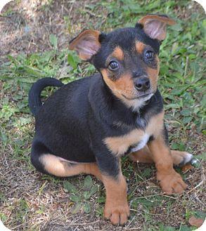 Redbone Coonhound/Chihuahua Mix Puppy for adoption in Glenburn, Maine - Nessy-adoption in progress