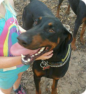 Doberman Pinscher Dog for adoption in Wichita, Kansas - Diesel