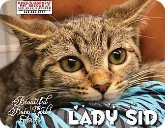 Domestic Shorthair Kitten for adoption in Davenport, Iowa - Lady Sig