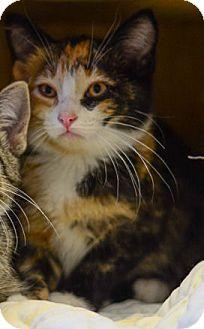 Calico Kitten for adoption in Washburn, Wisconsin - Calamity Jane
