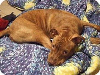 American Staffordshire Terrier Mix Dog for adoption in Brookeville, Maryland - Diesel