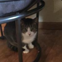 Domestic Mediumhair Cat for adoption in Kohler, Wisconsin - Cherry