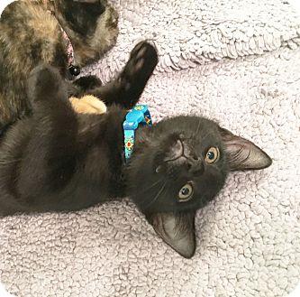 Domestic Shorthair Kitten for adoption in Arlington/Ft Worth, Texas - Spike