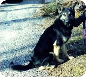 German Shepherd Dog Dog for adoption in Baldwin, New York - JAXX