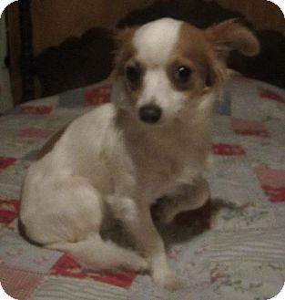 Papillon/Chihuahua Mix Dog for adoption in Waldron, Arkansas - SULLIVAN
