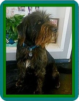 Airedale Terrier/Irish Wolfhound Mix Dog for adoption in West Los Angeles, California - Zeus
