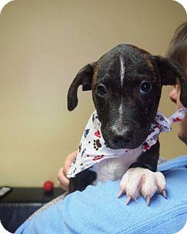 Hound (Unknown Type)/Pit Bull Terrier Mix Puppy for adoption in Philadelphia, Pennsylvania - Estus