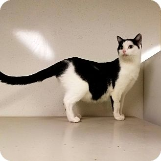 Domestic Shorthair Cat for adoption in Indianola, Iowa - C-16