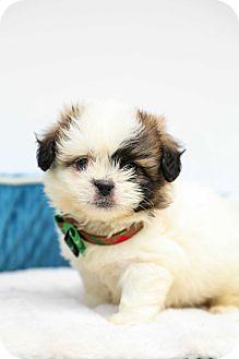 Shih Tzu Puppy for adoption in Auburn, California - Mr. Wiggles
