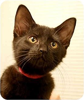 Domestic Shorthair Kitten for adoption in Huntley, Illinois - Ally