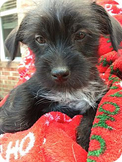 Lhasa Apso/Terrier (Unknown Type, Small) Mix Puppy for adoption in Royse City, Texas - Lulu's puppies