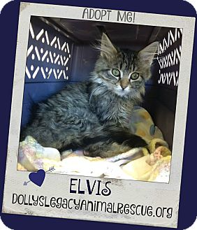 Domestic Longhair Kitten for adoption in Lincoln, Nebraska - ELVIS