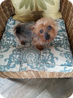 Yorkie, Yorkshire Terrier Dog for adoption in Dothan, Alabama - Trixie
