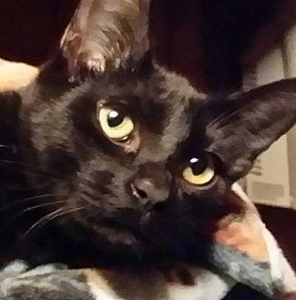 Domestic Shorthair Cat for adoption in Brighton, Missouri - Frisco