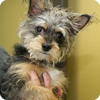 Yorkie, Yorkshire Terrier Mix Puppy for adoption in Philadelphia, Pennsylvania - Smokey