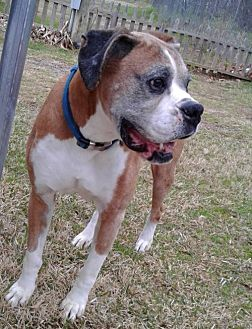 Boxer Dog for adoption in Hurst, Texas - Makaio