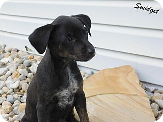 Miniature Pinscher/Beagle Mix Puppy for adoption in Mooresville, Indiana - Smidget