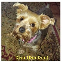 Adopt A Pet :: Diva (Dee Dee) - Suwanee, GA