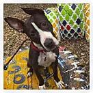 Adopt A Pet :: Doggie Blu - Parma, OH