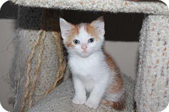 Domestic Shorthair Kitten for adoption in Naperville, Illinois - Egg Nog