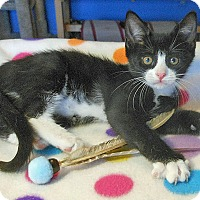 Adopt A Pet :: Max Cuddleman - Glendale, AZ