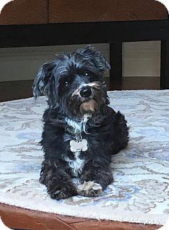 Poodle (Toy or Tea Cup)/Terrier (Unknown Type, Small) Mix Dog for adoption in Pleasanton, California - Happy