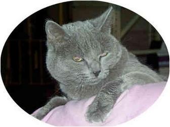 Domestic Shorthair Cat for adoption in Stafford, Virginia - Daisy
