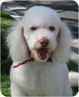 Poodle (Miniature)/Miniature Poodle Mix Dog for adoption in Simi Valley, California - Ernie