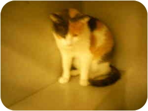 Calico Cat for adoption in Collinsville, Oklahoma - Cally