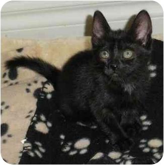 Domestic Shorthair Kitten for adoption in Toronto, Ontario - Deana