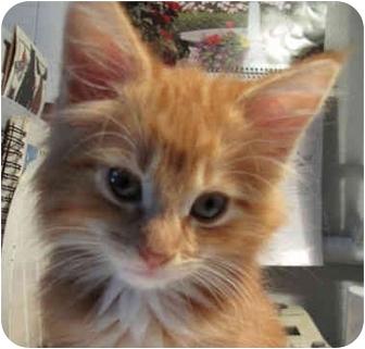 Maine Coon Kitten for adoption in Davis, California - Twitch