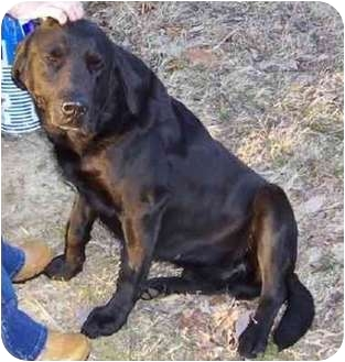 Labrador Retriever Dog for adoption in Smithville, Tennessee - Pepper