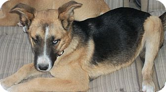Shepherd (Unknown Type) Mix Dog for adoption in Manchester, Tennessee - Ike