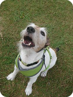 Jack Russell Terrier Dog for adoption in Thomasville, North Carolina - C.J.