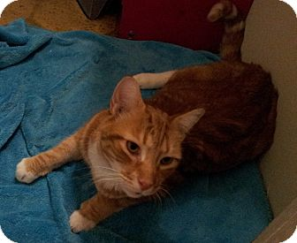Domestic Shorthair Cat for adoption in Richmond, Virginia - Garfield
