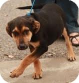 German Shepherd Dog Mix Dog for adoption in Spring Valley, New York - Barkley