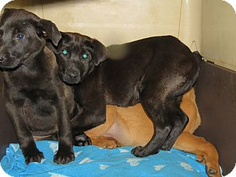Shepherd (Unknown Type)/Labrador Retriever Mix Puppy for adoption in Henderson, North Carolina - Angel, Amy & Jasmon