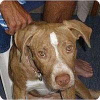 Adopt A Pet :: Duke - palm springs, CA
